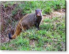 Stripe-necked Mongoose Acrylic Print