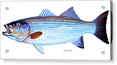 Striped Bass Acrylic Print by Carey Chen