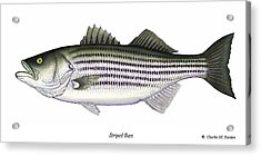 Striped Bass Acrylic Print by Charles Harden