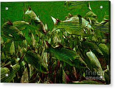 Striped Bass - Painterly V2 Acrylic Print by Wingsdomain Art and Photography