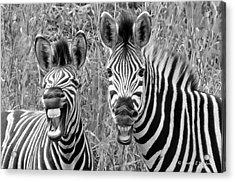 Striped Donkeys Zebra Chapman's Race Acrylic Print by Jonathan Whichard