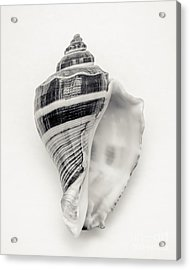 Striped Sea Shell Acrylic Print by Lucid Mood