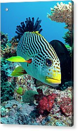 Striped Sweetlips On A Reef Acrylic Print by Louise Murray