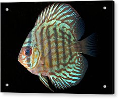Striped Turquoise Discus Acrylic Print by Nigel Downer