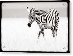 Stripes On The Move Acrylic Print by Mike Gaudaur