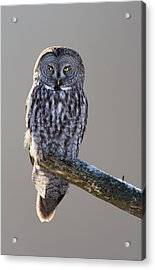 Strix Nebulosa Acrylic Print by Mircea Costina Photography