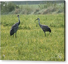 Acrylic Print featuring the photograph Strolling Cranes by Debbie Hart
