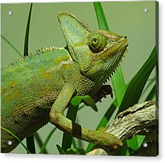 Strolling Veiled Chameleon Acrylic Print by Margaret Saheed