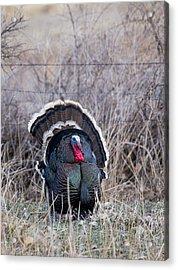Strutting Turkey Acrylic Print