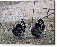 Strutting Turkeys Acrylic Print