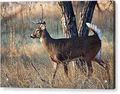 Acrylic Print featuring the photograph Strutting Buck by Jim Garrison