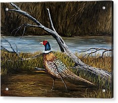 Strutting Pheasant Acrylic Print