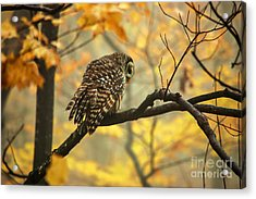 Stubborn Owl Acrylic Print