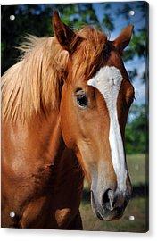 Stud Horse  Acrylic Print