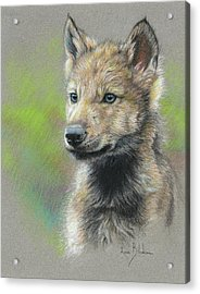 Study - Baby Wolf Acrylic Print by Lucie Bilodeau