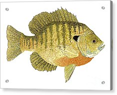 Acrylic Print featuring the painting Study Of A Bluegill Sunfish by Thom Glace