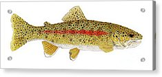 Study Of A Columbia River Erdband Trout Acrylic Print