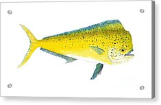 Acrylic Print featuring the painting Study Of A Mahi Mahi by Thom Glace
