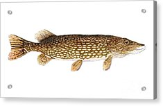 Acrylic Print featuring the painting Study Of A Northern Pike by Thom Glace