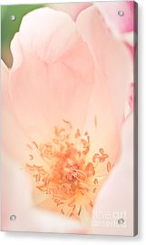 Study Of A Rose Four Acrylic Print by Lisa McStamp