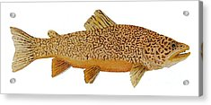 Study Of A Tiger Trout Acrylic Print