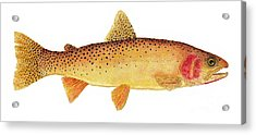 Study Of A Yellowstone Cutthroat Trout Acrylic Print