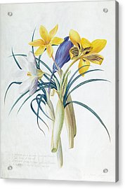 Study Of Four Species Of Crocus Acrylic Print by Georg Dionysius Ehret