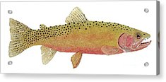 Study Of The Greenback Cutthroat Acrylic Print
