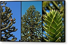 Study Of The Monkey Puzzle Tree Acrylic Print