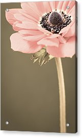 Subdued Anemone Acrylic Print