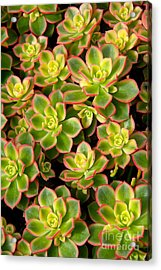 Succulent Glow Acrylic Print by Suzanne Oesterling