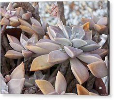 Acrylic Print featuring the photograph Succulent by Michele Kaiser