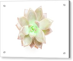 Succulent Plant On White Acrylic Print by Chris Parsons