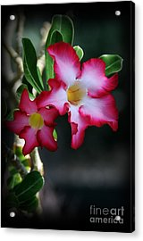 Succulent Red Bloom Acrylic Print