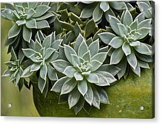 Acrylic Print featuring the photograph Succulent Rose In Moss Green Pot by Lehua Pekelo-Stearns