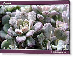 Succulents Acrylic Print by Chris Anderson