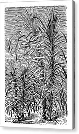 Sugar Cane Experiment Acrylic Print by Science Photo Library