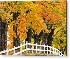 Sugar Maple Color Acrylic Print by Alan L Graham