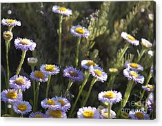 Suisun Marsh Aster In The Morning Light Acrylic Print by Artist and Photographer Laura Wrede