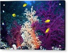 Sulphur Damsels On A Reef Acrylic Print by Georgette Douwma