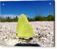 Acrylic Print featuring the photograph Sulphur Yellow Butterfly by Chris Mercer