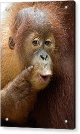 Sumatran Orangutan Baby Calling Acrylic Print by Suzi Eszterhas
