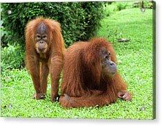 Sumatran Orangutans Acrylic Print