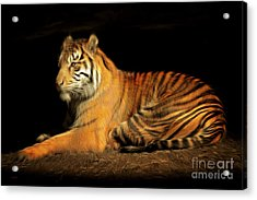 Sumatran Tiger 20150211brun Acrylic Print by Wingsdomain Art and Photography