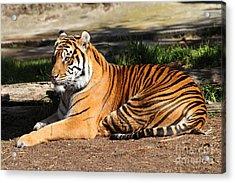 Sumatran Tiger 7d27310 Acrylic Print