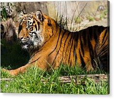 Sumatran Tiger 7d9084 Acrylic Print by Wingsdomain Art and Photography