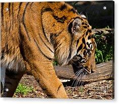 Sumatran Tiger 7d9092 Acrylic Print by Wingsdomain Art and Photography