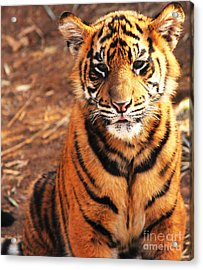 Acrylic Print featuring the photograph Sumatran Tiger Cub by Olivia Hardwicke