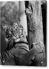 Acrylic Print featuring the photograph Sumatran Tiger by Gary Neiss