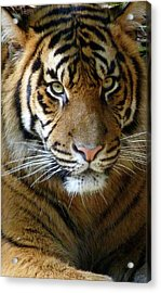 Sumatran Tiger Junior Acrylic Print by Margaret Saheed